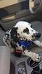 Dalmatian Puppy For Sale in GOODELLS, MI, USA