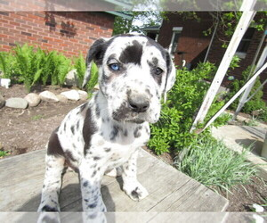 Daniff Puppy for Sale in HUDSON, Michigan USA