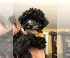 Maltipoo Puppy for Sale in SALEM, New Hampshire USA