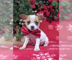 Chihuahua Puppy for sale in KIRKWOOD, PA, USA