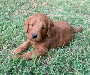 Goldendoodle Puppy for Sale in DEXTER, Georgia USA