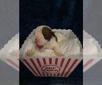 Puppy 2 English Bulldogge