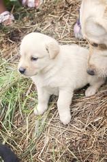 Labrador Retriever Puppy For Sale in SEATTLE, WA, USA