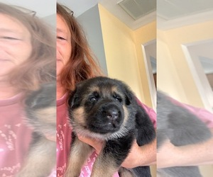 German Shepherd Dog Puppy for Sale in LINESVILLE, Pennsylvania USA