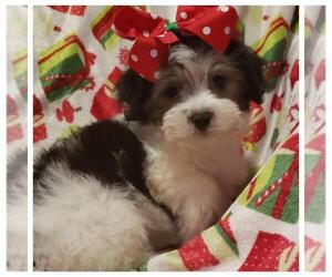 Maltese-Poodle (Toy) Mix Puppy for sale in TAYLOR, TX, USA