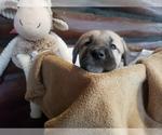 Small #27 Anatolian Shepherd-Maremma Sheepdog Mix