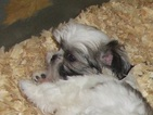 Shih Tzu Puppy For Sale in CARROLLTON, GA, USA