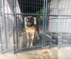 Boerboel Puppy for sale in THREE RIVERS, MI, USA