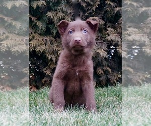 German Shepherd Dog Puppy for Sale in NAPPANEE, Indiana USA