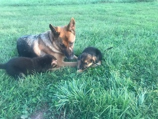 German Shepherd Dog Puppy for sale in DUNCANNON, PA, USA