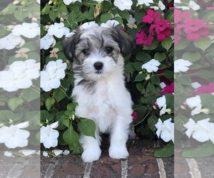 Coton de Tulear-Unknown Mix Puppy for sale in BROGUEVILLE, PA, USA
