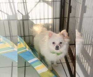 Pomeranian Puppy for Sale in CRANSTON, Rhode Island USA