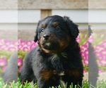 Puppy 1 Bernese Mountain Dog-Poodle (Toy) Mix
