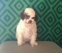 AKC Toy Poodle Puppies