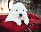 Maremma Sheepdog Puppy For Sale in STRAFFORD, MO, USA