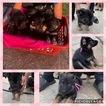 German Shepherd Dog Puppy For Sale in BAKER, LA, USA