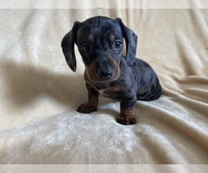 Dachshund Puppy for Sale in SAN JOSE, California USA