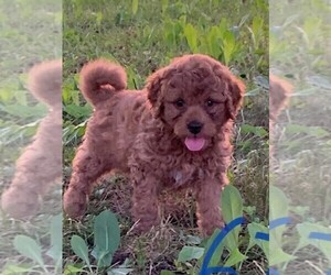 Goldendoodle-Poodle (Toy) Mix Puppy for sale in CLARE, IL, USA