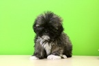 Shih Tzu Puppy For Sale in PORTSMOUTH, OH