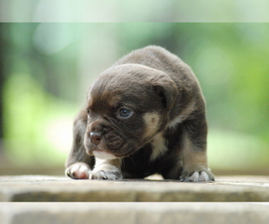 Bulldog Puppy for sale in BIRMINGHAM, AL, USA