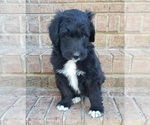 Small Aussiedoodle Mix