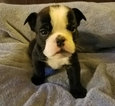 Bulldog Puppy For Sale in PUYALLUP, WA
