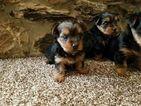 Yorkshire Terrier Puppy For Sale in AUSTIN, TX