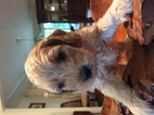 Cock-A-Poo Puppy For Sale in WAPPINGERS FALLS, NY, USA