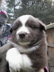 Australian Shepherd Puppy For Sale in CAMPTON, KY