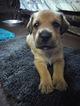 Briard Puppy For Sale in CHANDLER, AZ,