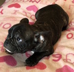 Small #8 French Bulldog