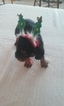 Cavalier King Charles Spaniel Puppy For Sale in BURKE, NY