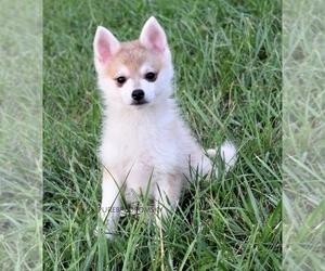 Pomsky Puppy for Sale in KANSAS CITY, Missouri USA