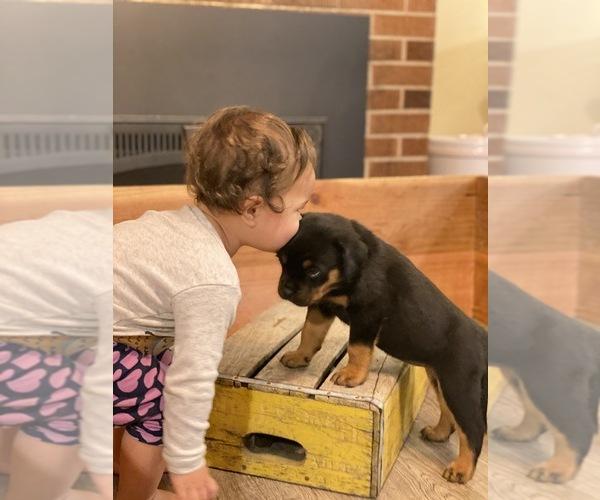 Medium Photo #7 Rottweiler Puppy For Sale in NAPA, CA, USA