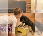Small Photo #7 Rottweiler Puppy For Sale in NAPA, CA, USA