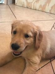 Golden Retriever Puppy for sale in TULAROSA, NM, USA