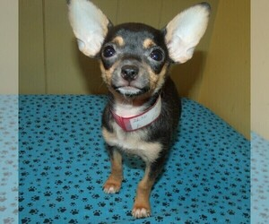 Chihuahua Dog for Adoption in PATERSON, New Jersey USA