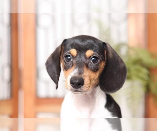 Medium Photo #2 Dachshund Puppy For Sale in NAPLES, FL, USA