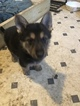 German Shepherd Dog Puppy For Sale in BEECHVIEW, PA, USA