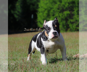 American Bully Puppy for sale in TRINITY, AL, USA