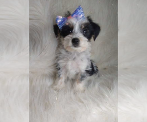 Morkie Puppy for sale in INDIANAPOLIS, IN, USA