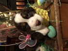 English Springer Spaniel Puppy For Sale in ALLIANCE, Ohio,