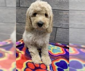 Medium Goldendoodle-Poodle (Standard) Mix