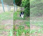 Small Border Collie