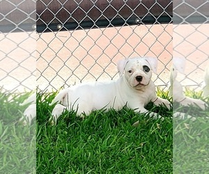 American Bulldog Puppy for Sale in THE WOODLANDS, Texas USA