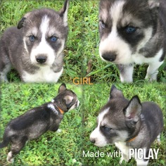 Siberian Husky Puppy For Sale in SHELL KNOB, MO, USA
