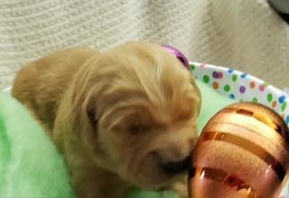 Golden Retriever Puppy For Sale in SHELBYVILLE, IN, USA