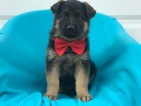 German Shepherd Dog Puppy For Sale in EAST EARL, PA,