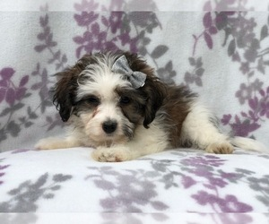 Zuchon Puppy for sale in LAKELAND, FL, USA