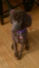 Poodle (Standard) Puppy For Sale in ALBANY, NY, USA